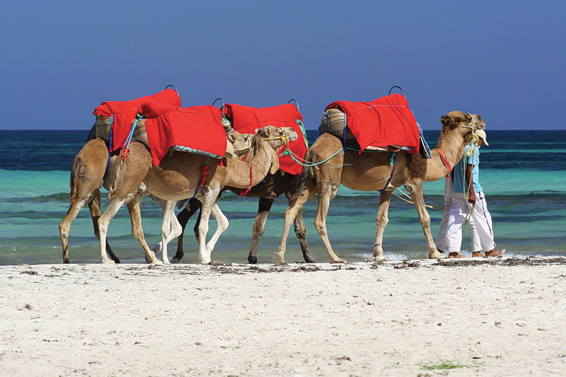 (Image) image Tunisie Djerba kamele  fo