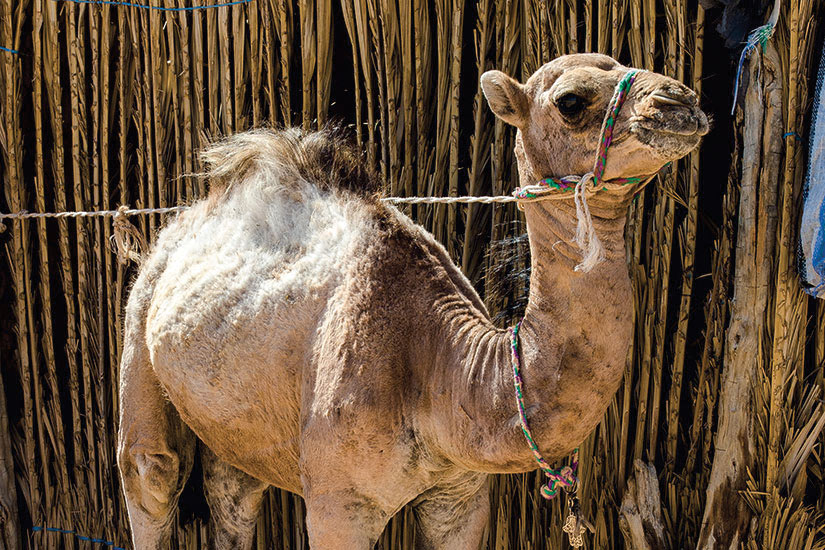 (Image) image Tunisie jeune camel  it