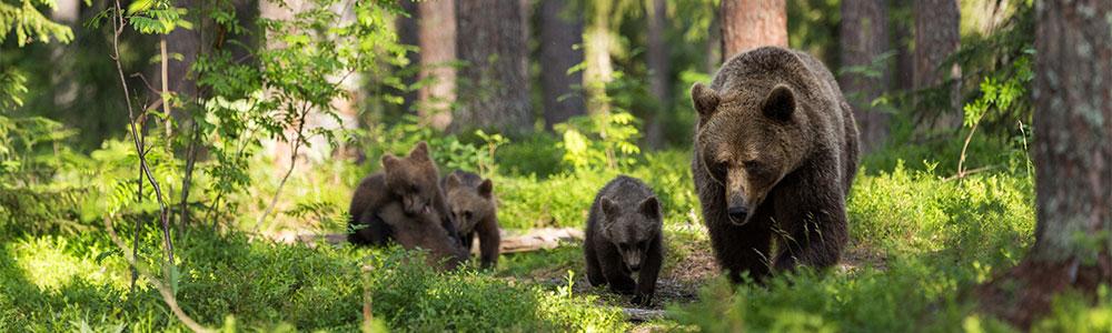 bears-rencontre com cape breton